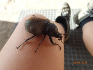 A very large beetle! - an example of the amazing plants and animals in Borneo.